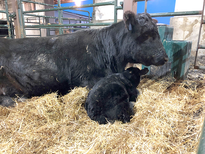 Newly Born Calf and Mother